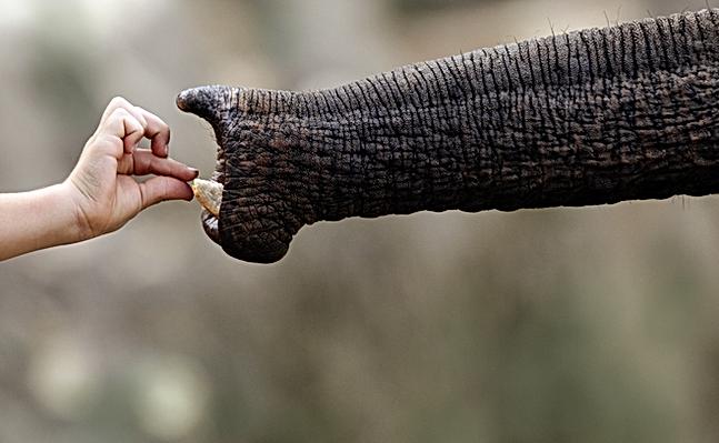 Mano que introduce elefante