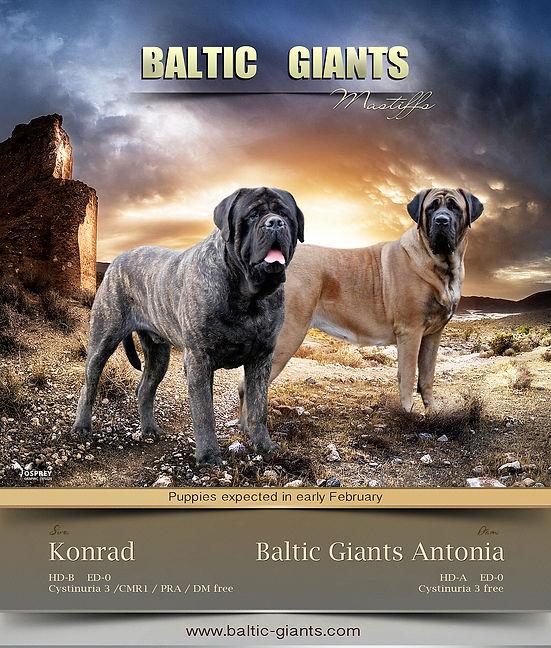 Baltic_giants_mastiff_litter_card_01.jpg