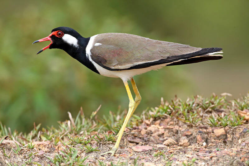 Red-Wattled-Lapwing.jpg