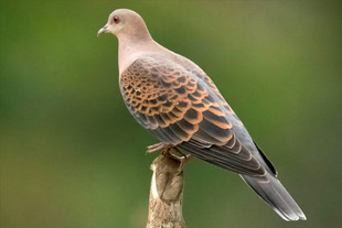 Oriental-Turtle-Dove.jpg
