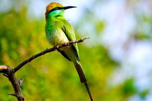 Green-Bee-Eater.jpg