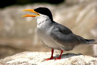 River-Tern.jpg