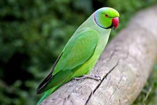 rose-ringed-parakeet.jpg