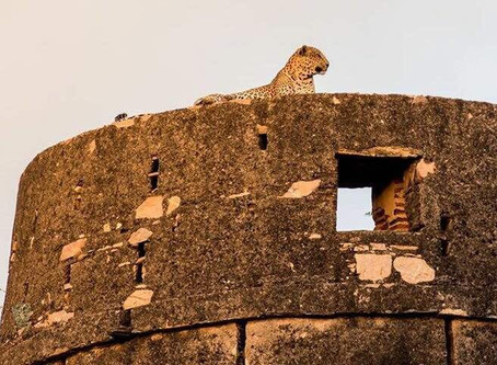 People ask me how close do the leopard come to deogarh .. @ Gokal Garh Deogarh some years ago