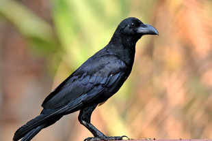 Large-Billed-Crow.jpg