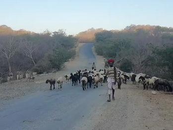 Rebari tribe passing through as drought effected Marwar region this year