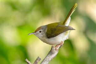 Common-Tailor-Bird.jpg