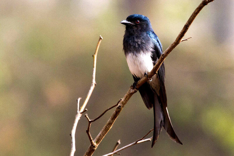 White-Bellied-Drongo.jpg