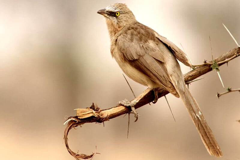 Large-Grey-Babbler.jpg