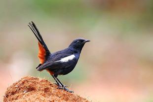 Indian-Robin.jpg