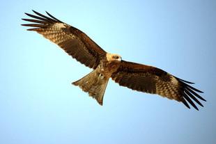 Black-Kite.jpg