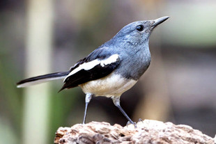 Oriental-Magpie-Robin.jpg