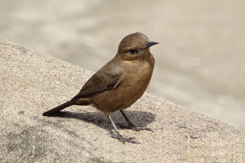 Brown-Rock-Chat.jpg