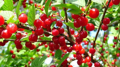 nanking-cherries-792905__480.jpg
