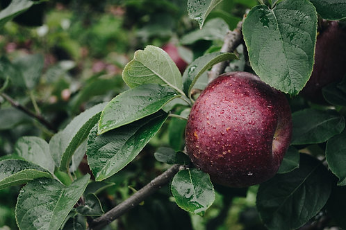 Start your own Apple Orchard