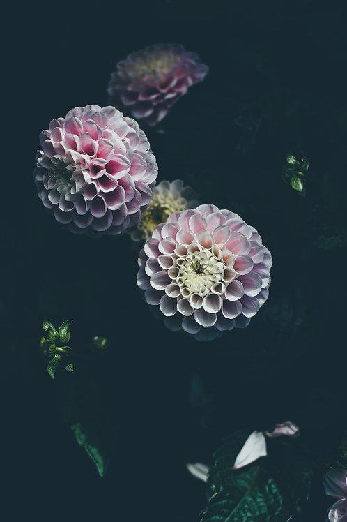 Growing Peonies and Dahlias – June 8