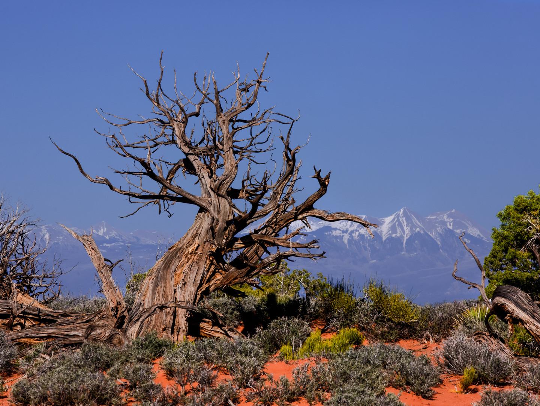 Dead Tree against La Sal.jpg