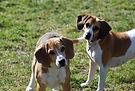 3 beagles.jpg