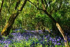 Darroch Wood bluebells