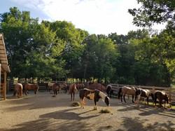 Ranch Horses In Field