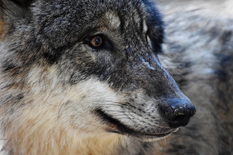 What will be the Future for Germany's Wolves?