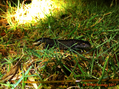 A Friday Night Date with Scotland's Largest Population of Great Crested Newt