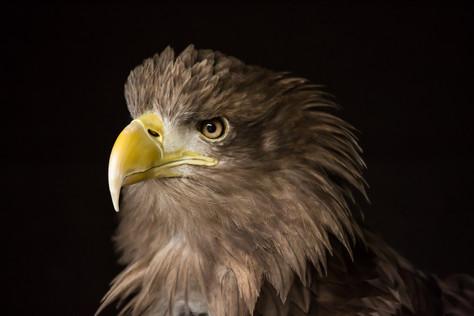Scotland's White-tailed (Sea) Eagles: Friend or Foe?