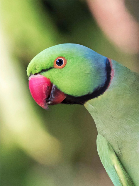 Ring-Necked Parakeets and their Impact on Bat Populations