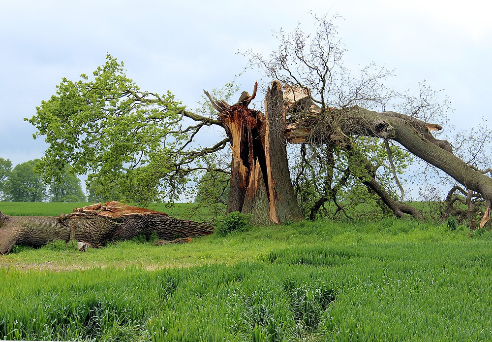 Storm damaged oak tree
