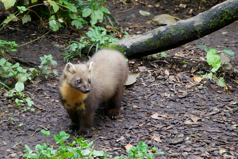 In Search of the Enigmatic Pine Marten and Scottish Wildcat...