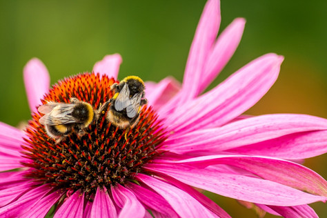 Bumblebees Are Losing Their Buzz...