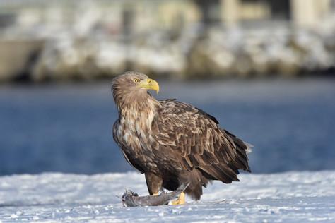 The Sea Eagles of Japan's East Coast