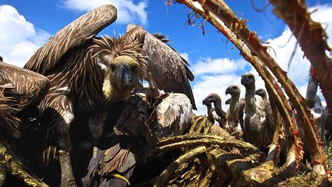 Vultures: The Hero of the Savannah