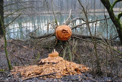 Beavers and Wetland Creation
