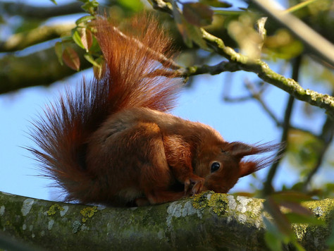 Formby's Synurbic Red Squirrels!