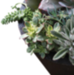 Drought Resistant Landcape Plants Santa Monica