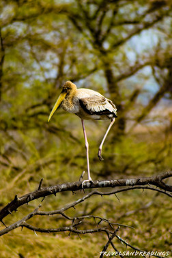 Painted Stork, Migratory birds, Keoladeo Ghana National park, India