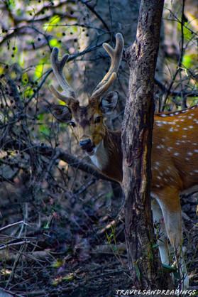 Spotted deer (cheetal), Keoladeo Ghana National Park, India
