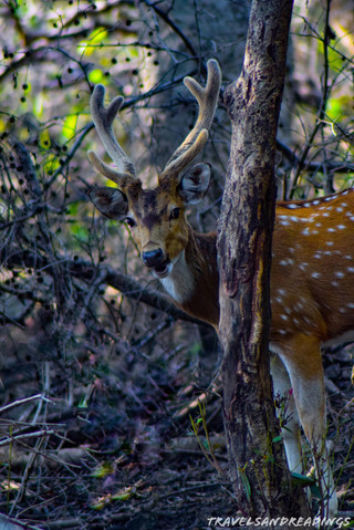 Spotted deer (cheetal), Keoladeo Ghana National Park, India