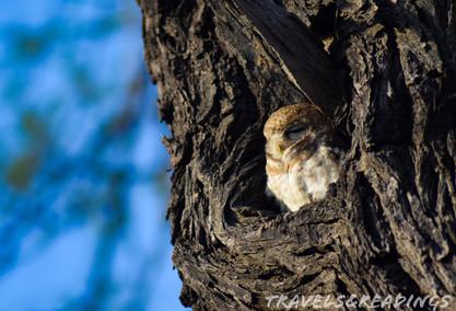 Spotted owlet (Athena Brama), Keoladeo Ghana National Park, India