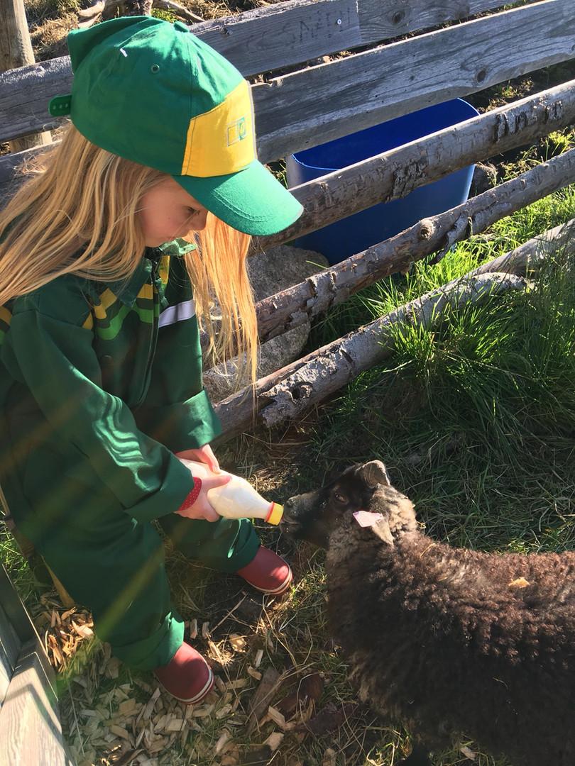 Mating av lam
