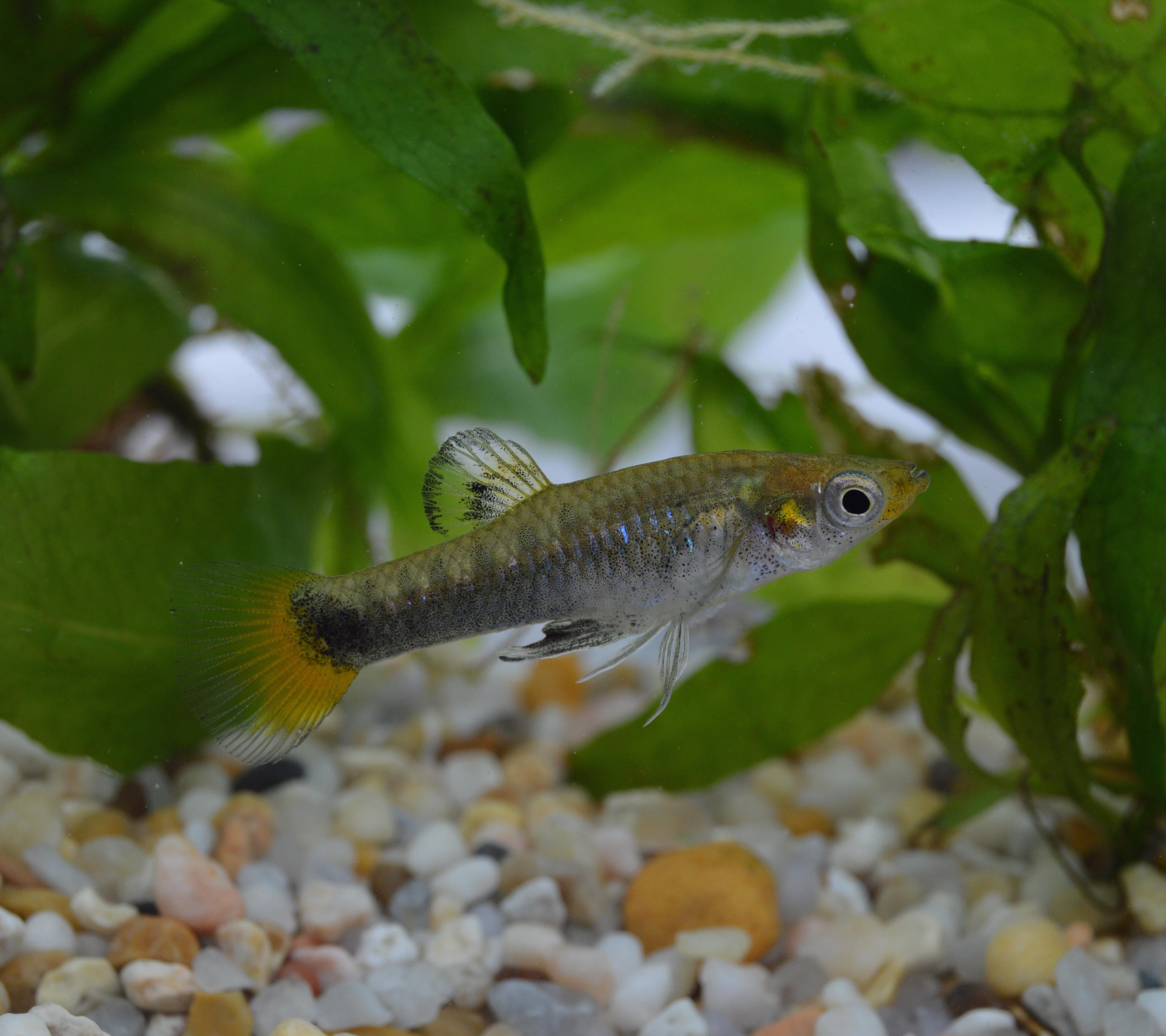L. melanogaster