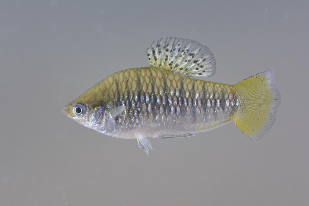 L. nigrofasciata