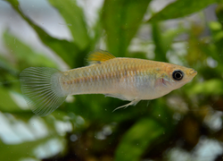 P. dominicensis_male