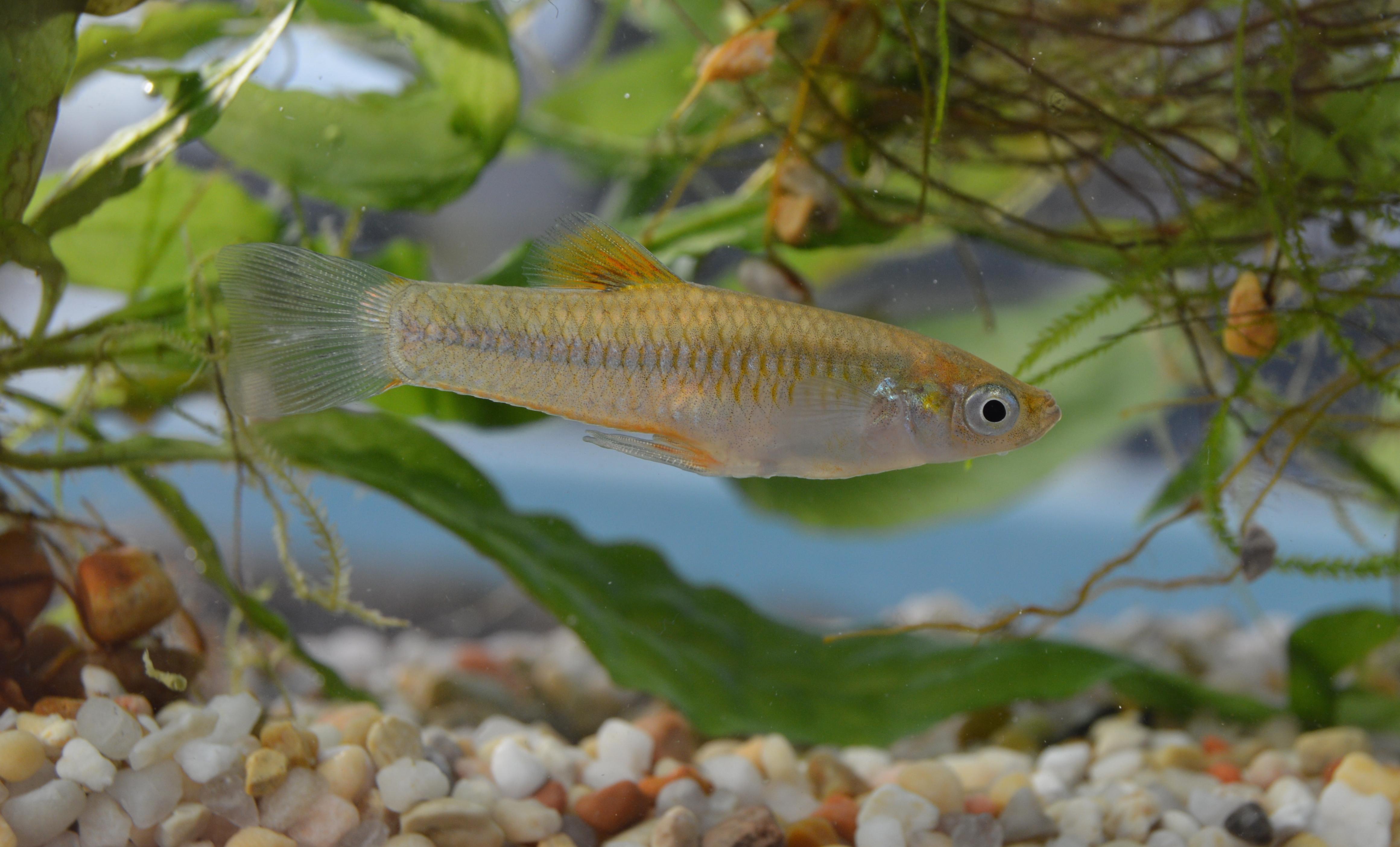 L. versicolor