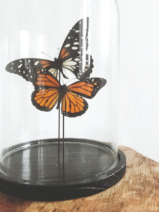 Papilio Rex & Dannaus Plexippus