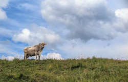 Vaca Dolomitas