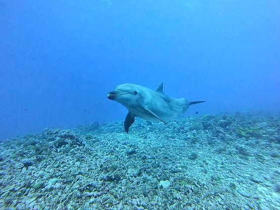 dolphin diving in rangiroa.jpeg