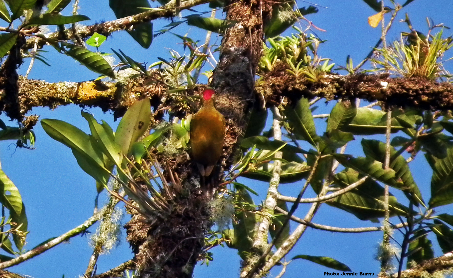 Golden Olive woodpecker 1