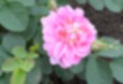 3 Роза Розовая (Коми).jpg